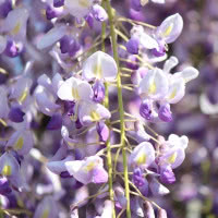 wisteria fot. punch_ra Pixabay