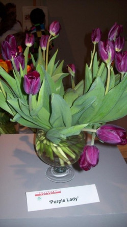Tulipan Purple Lady