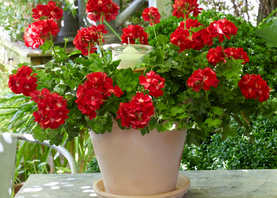 Lampion z pelargoniami DIY fot. Pelargonium for Europe
