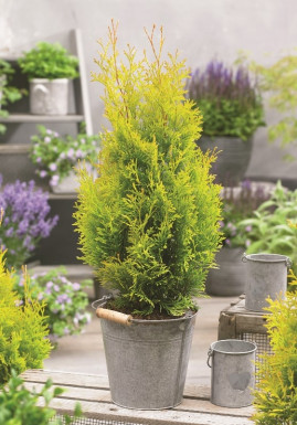 Thuja occidentalis SUNNY SMARAGD