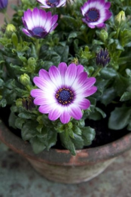 osteospermum w doniczce fot. Flower Council Holland