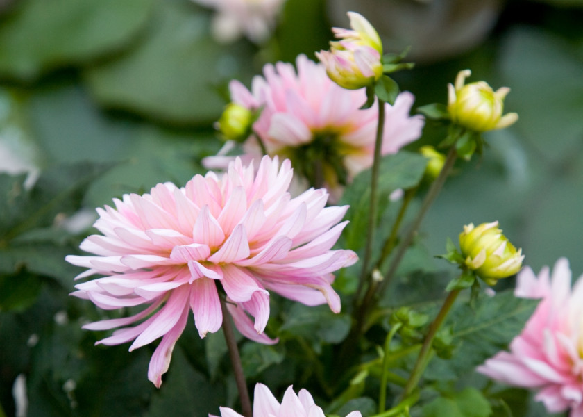 Dahlia 'Deveril'