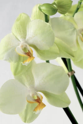 phalaenopsis fot. Flower Council Holland