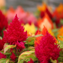 Celosia fot. Mike Sutton Flickr CC
