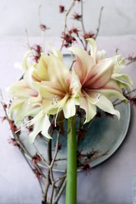 hippeastrum amaryllis w wazonie fot. Flower Council Holland
