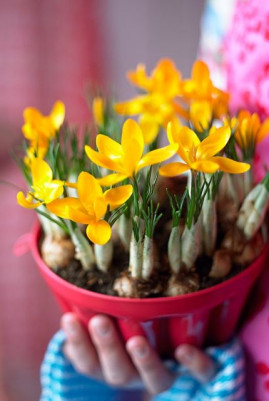 Crocus flavus Golden Yellow