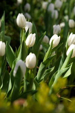 Tulipa_White dream