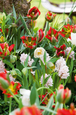 Hyacinthus_Prince_Jewel_Tulipa_Hollywood_Montreux.jpg