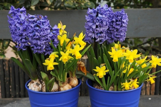 Hyacinthus, Narcissus